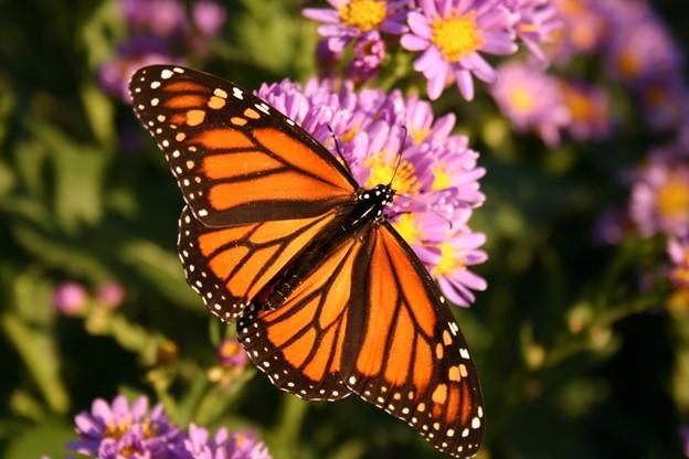 Пеперуда монарх (Danaus plexippus)